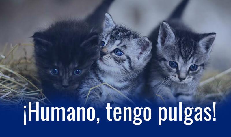 gatos pequeños con pulgas